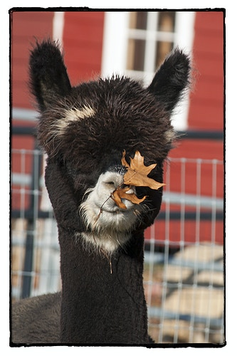 ah, I love the smell of autumn - Farm Animal Photography & Greeting Cards for Sale in NJ   Barnyard Moments
