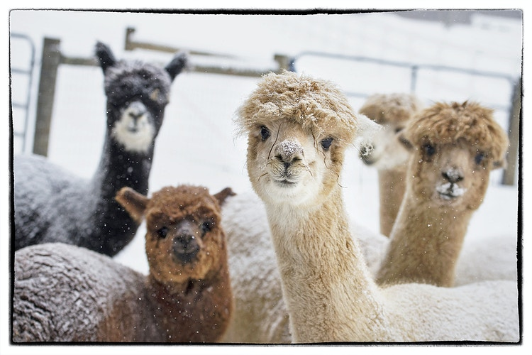 a frosty welcome - Farm Animal Photography & Greeting Cards for Sale in NJ | Barnyard Moments