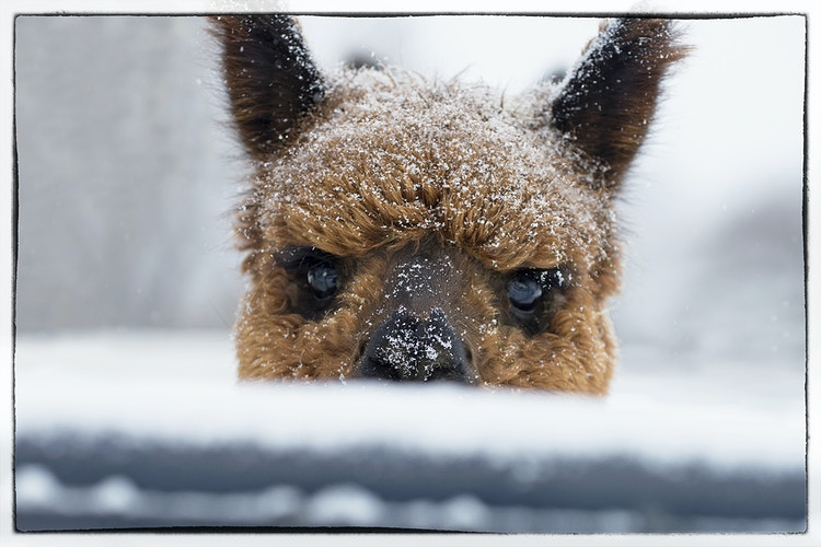 baby it's cold outside - Farm Animal Photography & Greeting Cards for Sale in NJ | Barnyard Moments