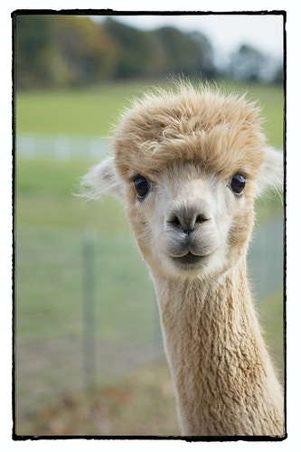 welcome to the barnyard - Farm Animal Photography & Greeting Cards for Sale in NJ   Barnyard Moments