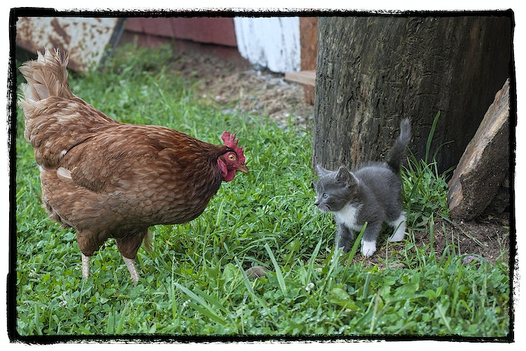 the confrontation - Farm Animal Photography & Greeting Cards for Sale in NJ | Barnyard Moments