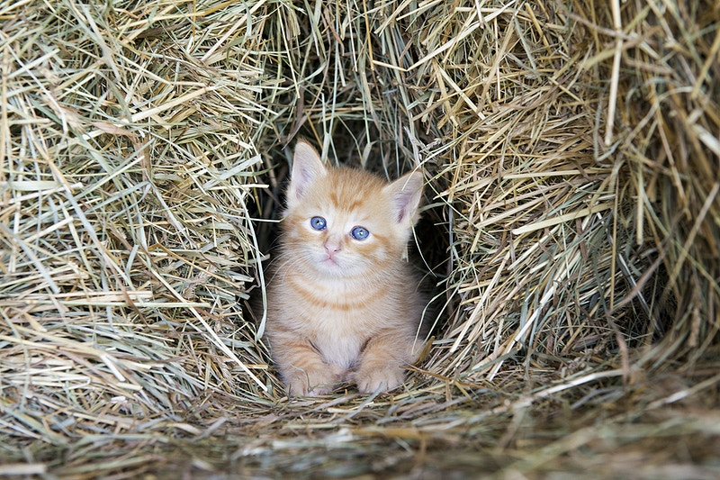 a kitten in a haystack - Farm Animal Photography & Greeting Cards for Sale in NJ | Barnyard Moments