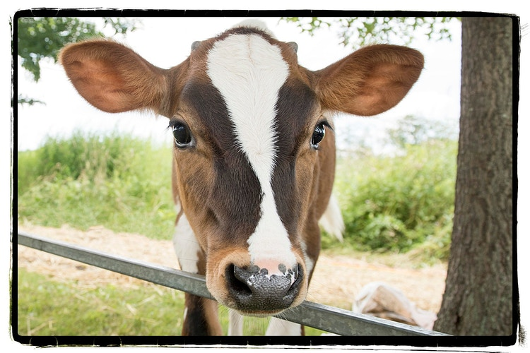 52 - Farm Animal Photography & Greeting Cards for Sale in NJ | Barnyard Moments