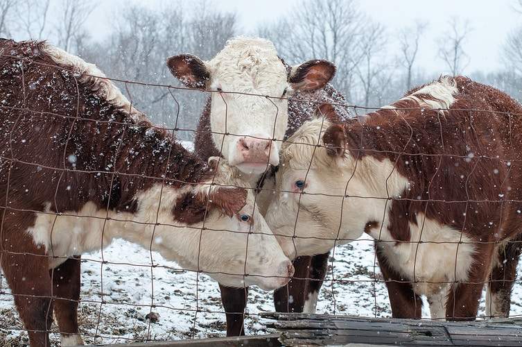 shelter from the storm - Farm Animal Photography & Greeting Cards for Sale in NJ | Barnyard Moments