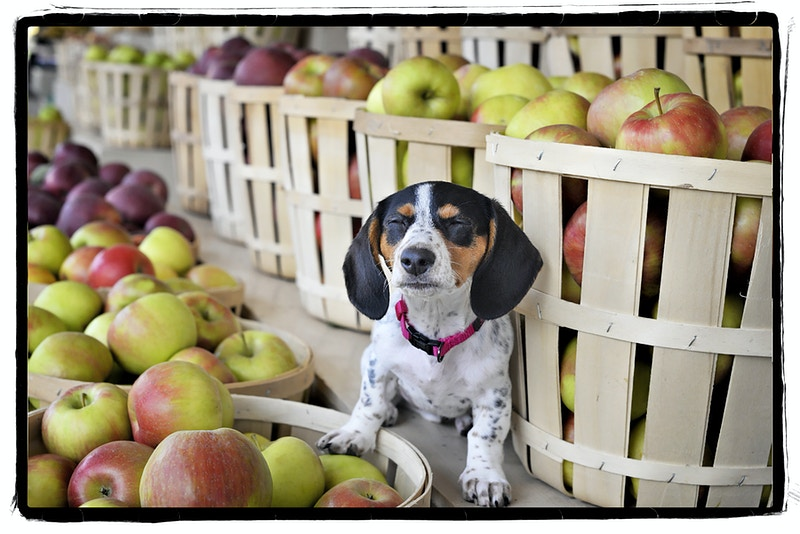 apple pie dreams - Farm Animal Photography & Greeting Cards for Sale in NJ | Barnyard Moments