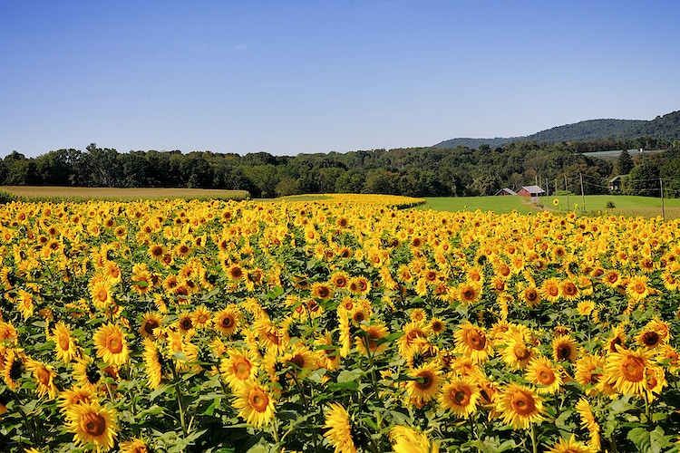 field of sun - Farm Animal Photography & Greeting Cards for Sale in NJ | Barnyard Moments