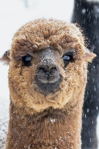 snow baby - Farm Animal Photography & Greeting Cards for Sale in NJ | Barnyard Moments