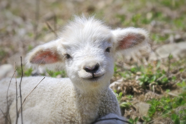 lamb chop - Farm Animal Photography & Greeting Cards for Sale in NJ   Barnyard Moments