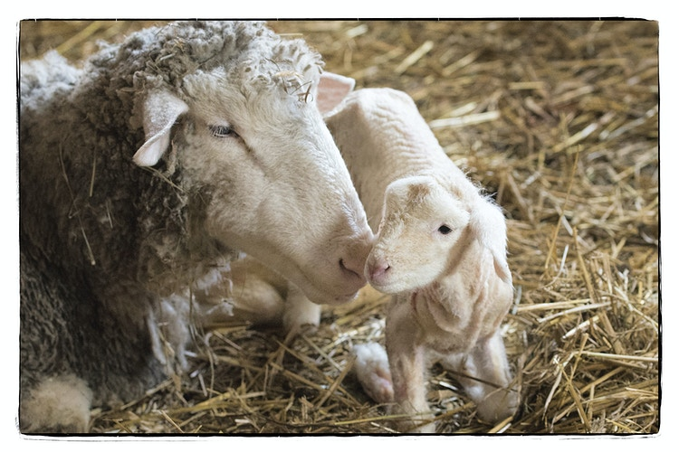 first moments - Farm Animal Photography & Greeting Cards for Sale in NJ   Barnyard Moments