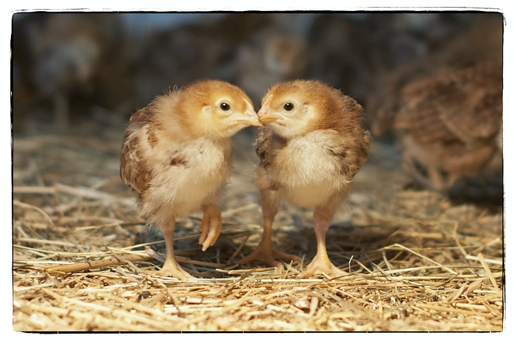 beak to beak - Farm Animal Photography & Greeting Cards for Sale in NJ | Barnyard Moments