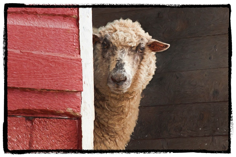 Goats And Sheep - Farm Animal Photography & Greeting Cards for Sale in NJ   Barnyard Moments