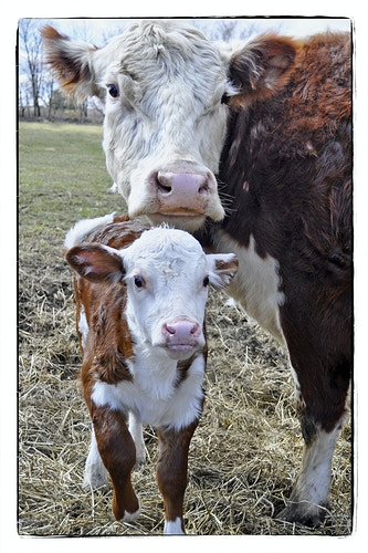 mother's always watching, always protecting 2 - Farm Animal Photography & Greeting Cards for Sale in NJ | Barnyard Moments