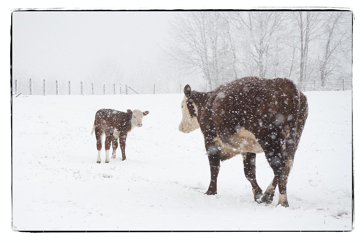 mother what's all that white stuff - Farm Animal Photography & Greeting Cards for Sale in NJ | Barnyard Moments