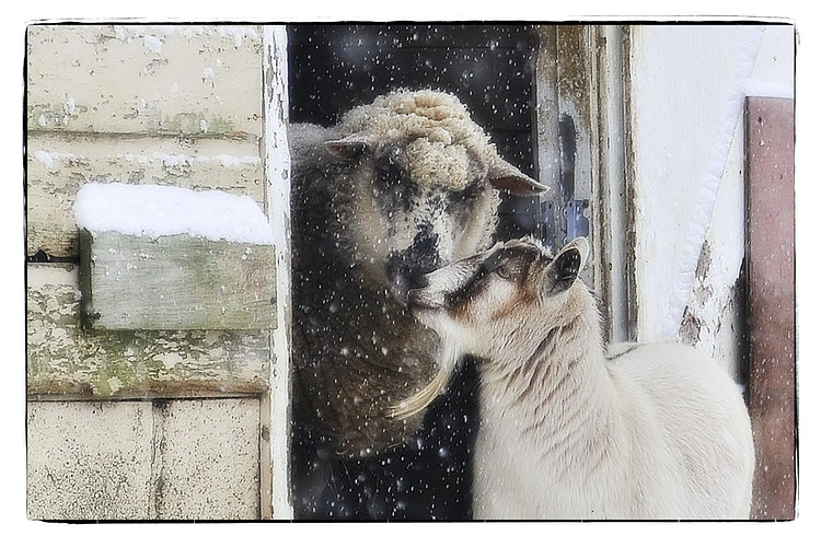 snow kiss - Farm Animal Photography & Greeting Cards for Sale in NJ | Barnyard Moments