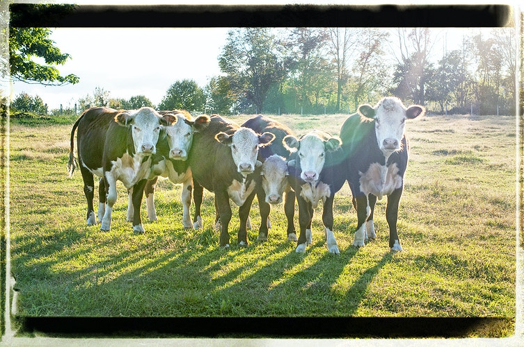 the gangs here - Farm Animal Photography & Greeting Cards for Sale in NJ | Barnyard Moments
