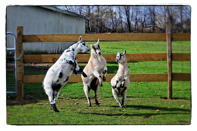 dances with goats - Farm Animal Photography & Greeting Cards for Sale in NJ | Barnyard Moments