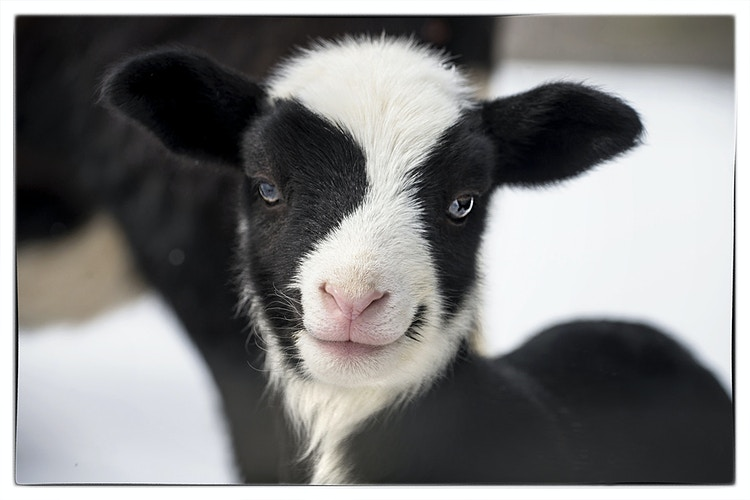 oreo - Farm Animal Photography & Greeting Cards for Sale in NJ | Barnyard Moments