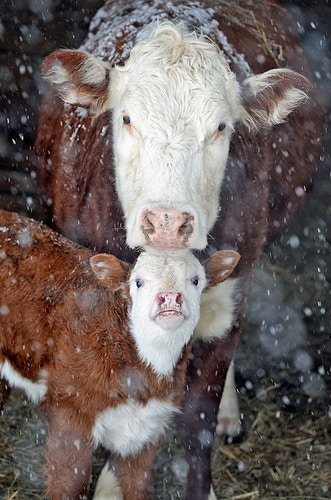 3 - Farm Animal Photography & Greeting Cards for Sale in NJ | Barnyard Moments