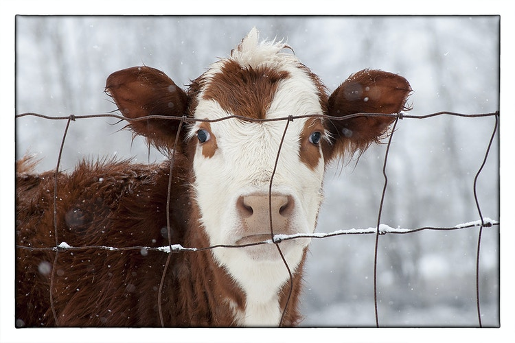 one winter's day - Farm Animal Photography & Greeting Cards for Sale in NJ | Barnyard Moments