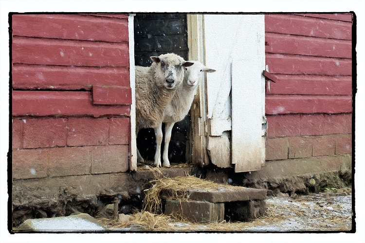 hello - Farm Animal Photography & Greeting Cards for Sale in NJ | Barnyard Moments