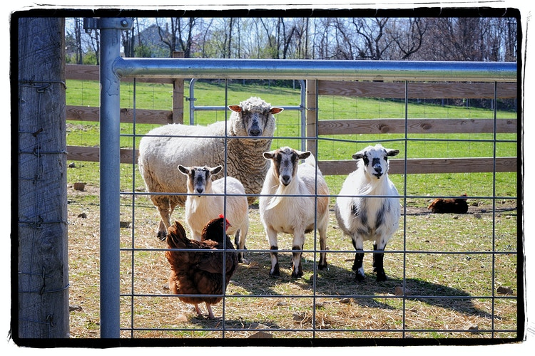 the conductor - Farm Animal Photography & Greeting Cards for Sale in NJ   Barnyard Moments