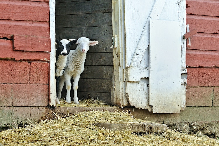 waiting for mom - Farm Animal Photography & Greeting Cards for Sale in NJ   Barnyard Moments