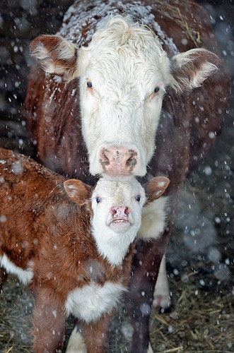 mother's always watching, always protecting - Farm Animal Photography & Greeting Cards for Sale in NJ | Barnyard Moments