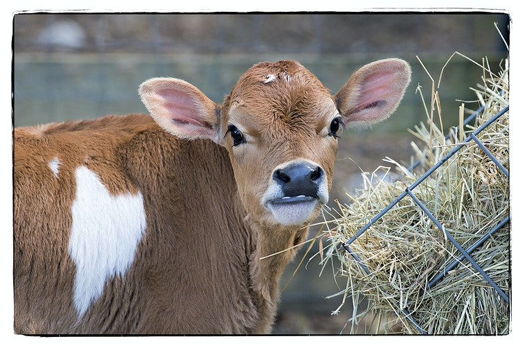 tales from the heart - Farm Animal Photography & Greeting Cards for Sale in NJ | Barnyard Moments