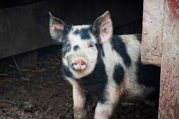 58 - Farm Animal Photography & Greeting Cards for Sale in NJ | Barnyard Moments