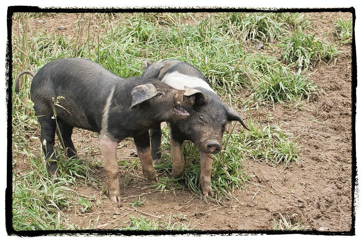 Barnyard Gossip - Farm Animal Photography & Greeting Cards for Sale in NJ | Barnyard Moments