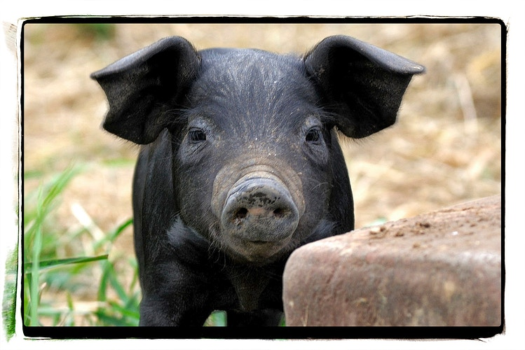 Pigs - Farm Animal Photography & Greeting Cards for Sale in NJ | Barnyard Moments