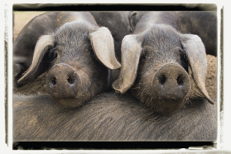 table for two - Farm Animal Photography & Greeting Cards for Sale in NJ | Barnyard Moments