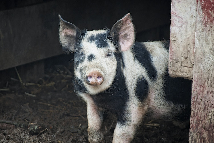 patches - Farm Animal Photography & Greeting Cards for Sale in NJ | Barnyard Moments