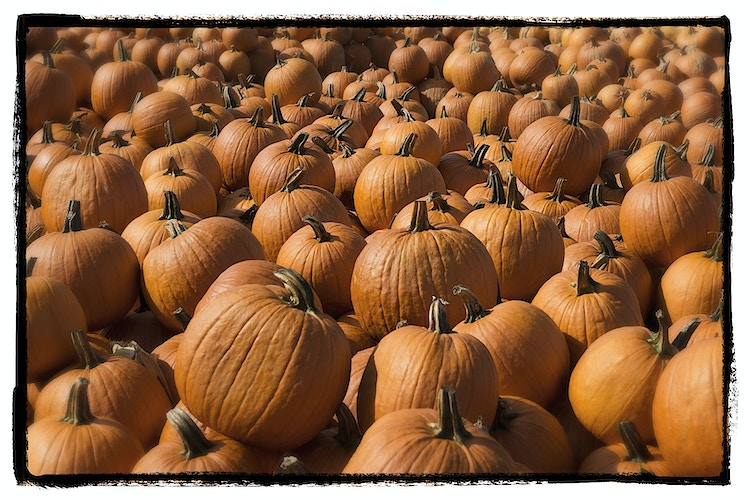 it's pumpkin season - Farm Animal Photography & Greeting Cards for Sale in NJ | Barnyard Moments