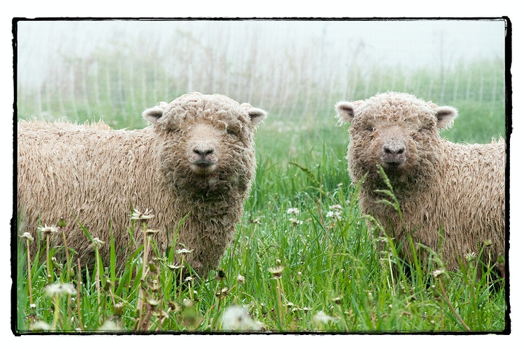 two of a kind - Farm Animal Photography & Greeting Cards for Sale in NJ | Barnyard Moments