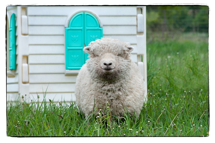 watch sheep - Farm Animal Photography & Greeting Cards for Sale in NJ | Barnyard Moments
