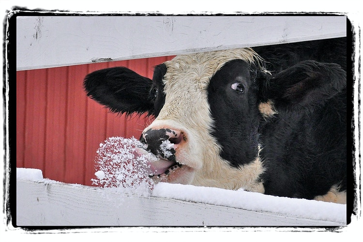 frosty treat - Farm Animal Photography & Greeting Cards for Sale in NJ | Barnyard Moments
