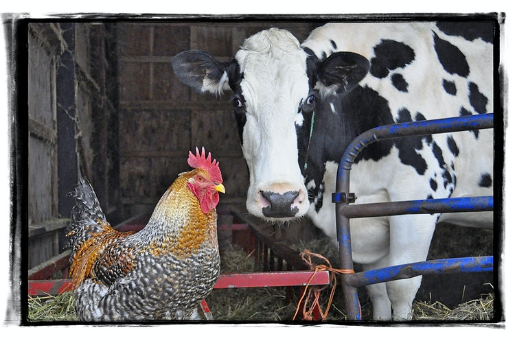 unlikely frienships - Farm Animal Photography & Greeting Cards for Sale in NJ | Barnyard Moments