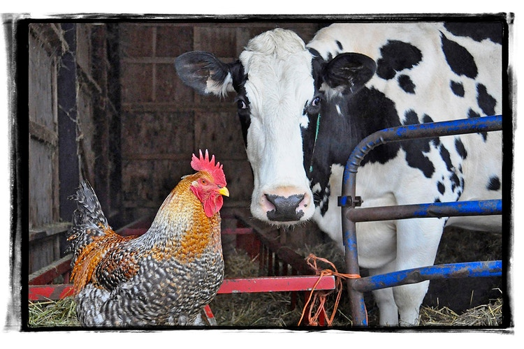 57 - Farm Animal Photography & Greeting Cards for Sale in NJ | Barnyard Moments