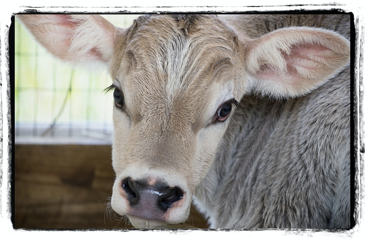baby face - Farm Animal Photography & Greeting Cards for Sale in NJ | Barnyard Moments