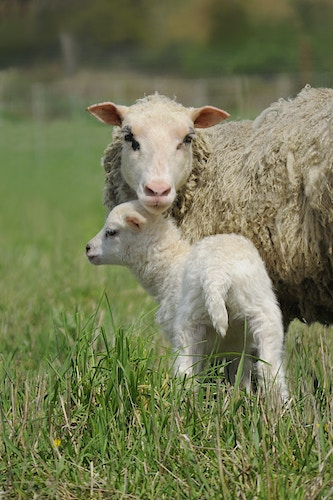ewe watch over me - Farm Animal Photography & Greeting Cards for Sale in NJ   Barnyard Moments