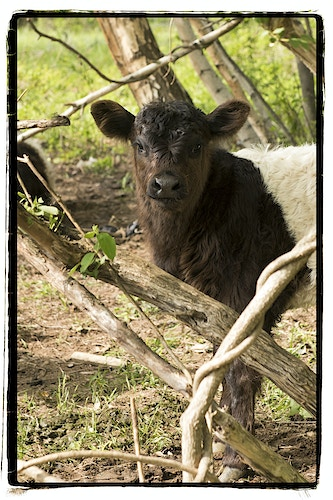 Cows - Farm Animal Photography & Greeting Cards for Sale in NJ | Barnyard Moments