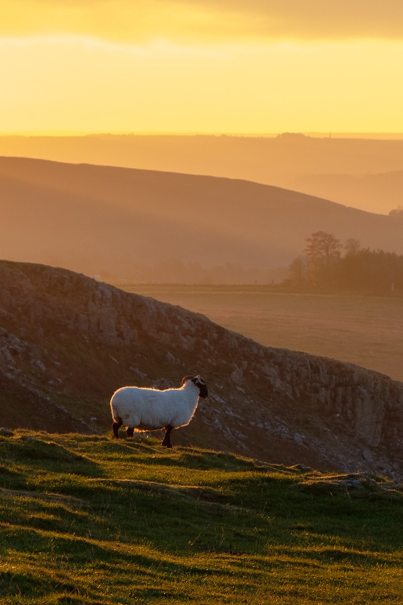 Sunrise Sheep - Ben Ruset Photography