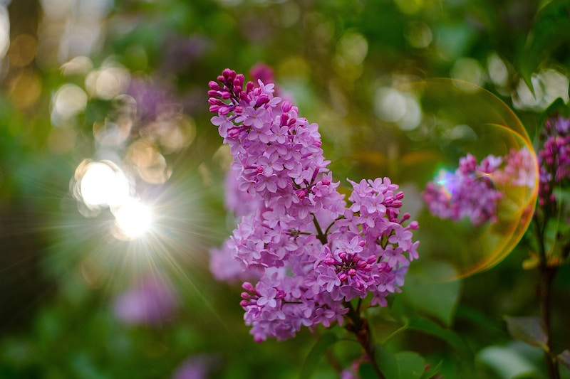 Lilacs in the Sunset - Ben Ruset