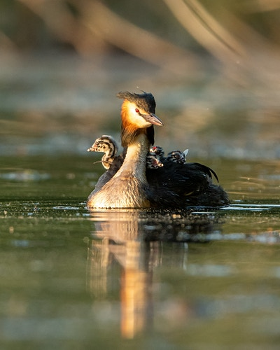 Great Crested Grebe - Bryan McCarvey