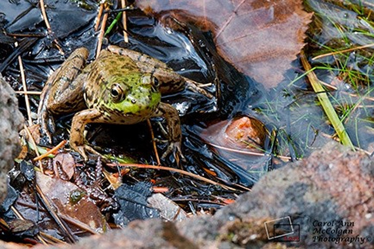99 - Frog / Grenouille - www.camphoto.ca
