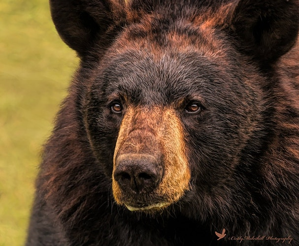Bear Head_1297 - Cindy Mulvihill Photography