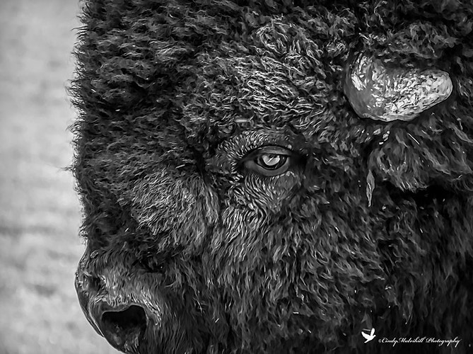 Buffalo Head_1239 - Cindy Mulvihill Photography