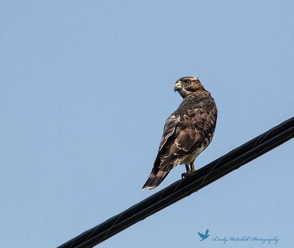 Hawk on a Wire_2745 - Cindy Mulvihill Photography