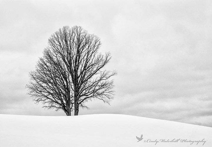 Single Tree on Hill-B&W _6359 - Cindy Mulvihill Photography